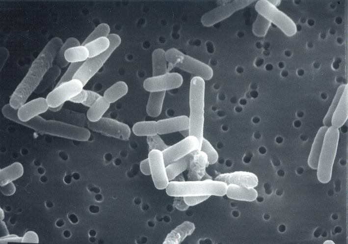 biogaia_bacteria_2